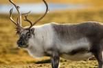 Исследования показали высокий уровень радиоактивности животных на пастбищах Норвегии