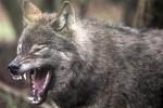 В Дании впервые за 200 лет были замечены волки
