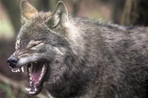 Европейский серый волк