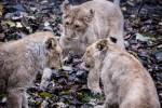 Посетители зоопарка Коркеасаари могут предложить свои варианты имен для трех львят