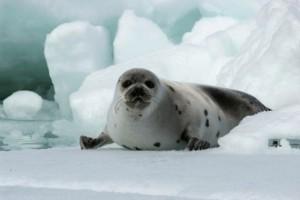 Гренландский тюлень, обитающий в водах Норвегии