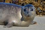 Птичий грипп стал причиной массовой гибели балтийских тюленей