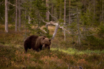 В Швеции сокращаются популяции медведей, росомах и рысей