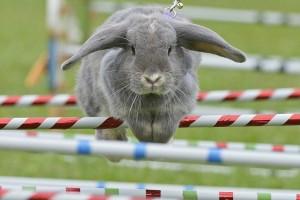 Кролик преодолевает полосу препятствий