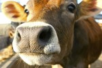В Норвегии зафиксирован «вероятный» случай коровьего бешенства