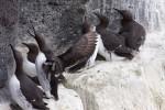 На севере Исландии обнаружены сотни мертвых морских птиц