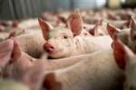 Вместо России Финляндия будет экспортировать свинину в Китай