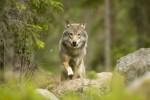 В Швеции идет волна протестов против отстрела волков