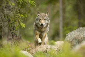 Шведский волк