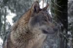 Шведский суд разрешил отстрел волков