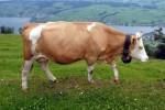 В Норвегии подтвержден случай коровьего бешенства