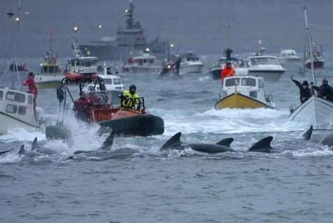 Китобойный промысел на Фарерских островах «Grindadrap»
