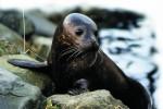 В Швеции запретили продажу мяса и меха тюленей