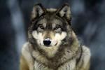 Экологи предлагают награду за информацию о пропавшей без вести волчице