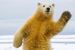 Все белые медведи в Исландии могут быть убиты