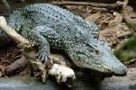 Швеция поможет Кубе восстановить популяцию исчезающего вида крокодилов