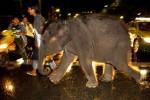 В Шведском городе Кальмар запретили прогулки слонов по улицам