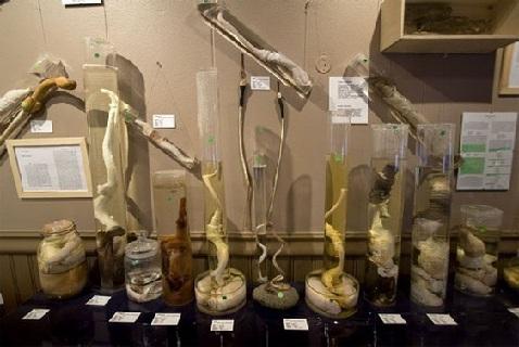 Экспонаты музея пенисов