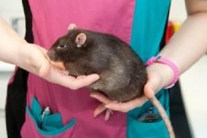 Самая толстая крыса Британии, 900 грамм