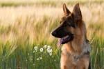 Немецкие овчарки с 98% точностью обнаруживают рак предстательной железы