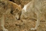 В Дании появилась первая за 200 лет волчица