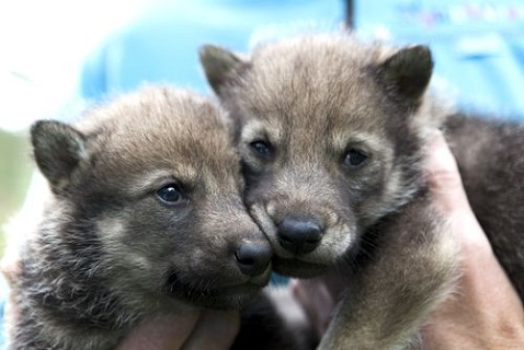 Волчата в зоопарке Кристиансанна (южная Норвегия)