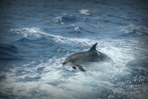 Афалина или большой дельфин