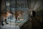 Норвегия сокращает субсидии для звероферм по производству меха
