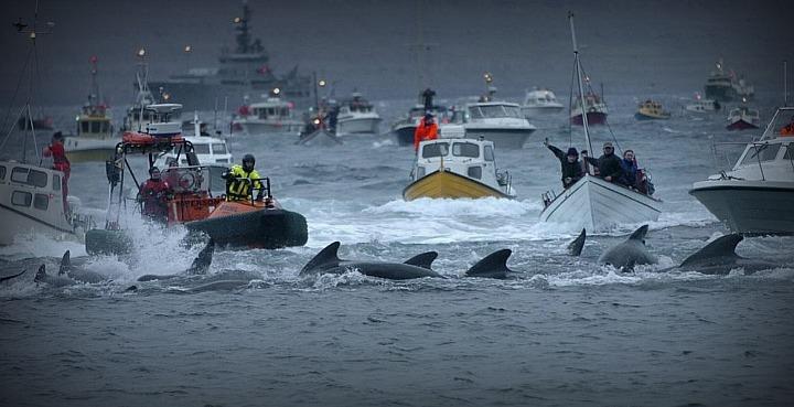 Grindadrap. Загон и убийство китов на Фарерских островах