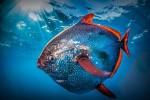 Ученые обнаружили первую теплокровную рыбу