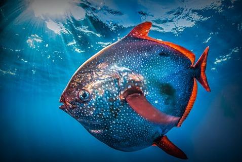 Опаха, ошибочно называемая «рыбой-луной». Калифорния