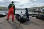 На Фарерских островах вновь начали убивать китов