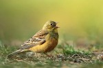 Шведские ученые клеймят позором французские блюда из садовых птиц