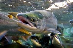 Из шотландского рыбхоза сбежали 16000 особей лосося