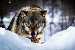 К северу от Осло объявлена охота на волков-вредителей