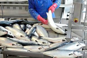 Переработка рыбы в Норвегии (фото)