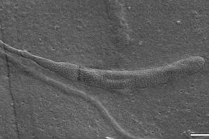 Ископаемый сперматозоид (фото)