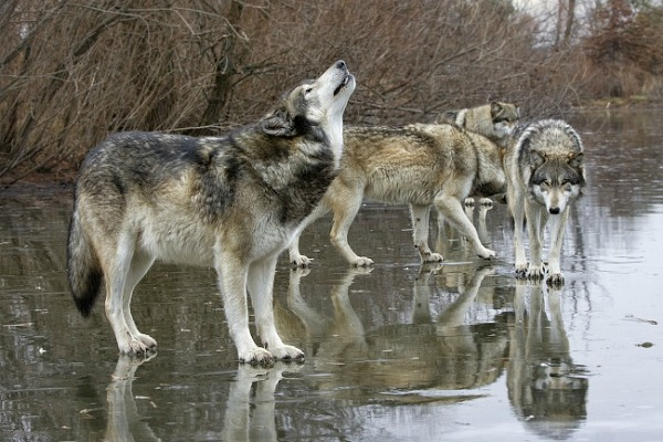 Стая волков в Финляндии (фото)