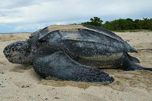 Погибшая кожистая черепаха