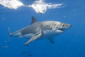Сельдевая акула — нечастый гость в Швеции