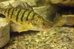 Шведские исследователи озадачены ухудшением здоровья рыб