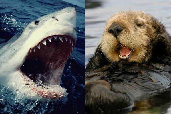 Большая белая акула и морская выдра (калан)