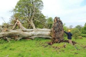 Дерево, под которым был найден скелет