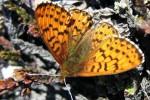 Гренландские бабочки стремительно уменьшаются в размерах