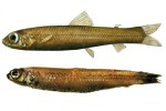 В гренландских водах поймана неизвестная ученым рыба