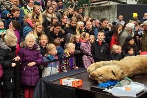 Вскрытие льва сотрудниками зоопарка в Оденсе