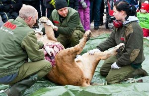 Зоопарк в Оденсе уже проводил аналогичные вскрытия львов перед посетителями
