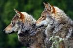 Шведские экологи приступили к изучению ДНК российских волков