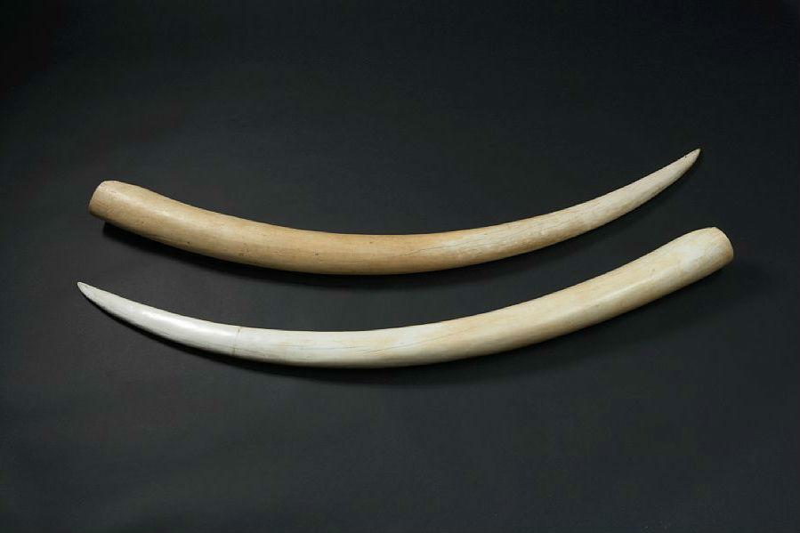 Слоновьи бивни из экспозиции аукционного дома Bruun Rasmussen Auctioneers