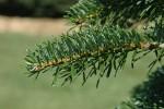 Дания планирует выращивать новогодние «турбо-елки»